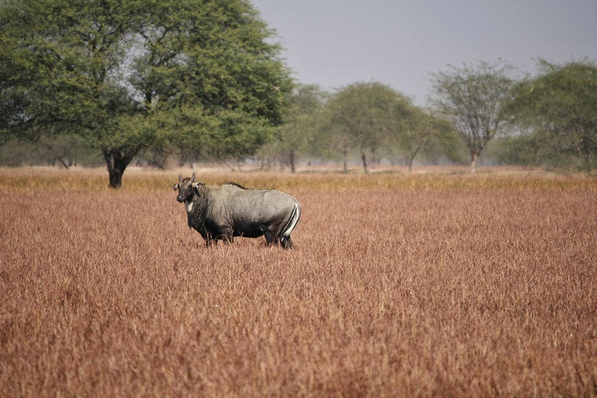 Velavadar National Park, Gujarat