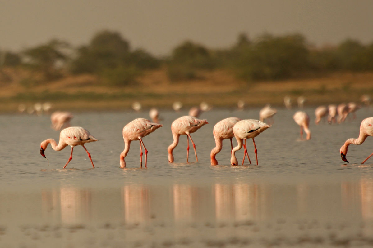 Flamingoes in Little Rann of Kutchh, Gujarat