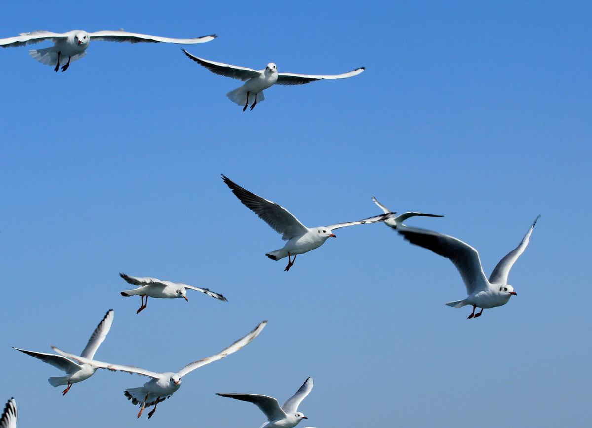 Gulls at Bet Dwarka, Gujarat