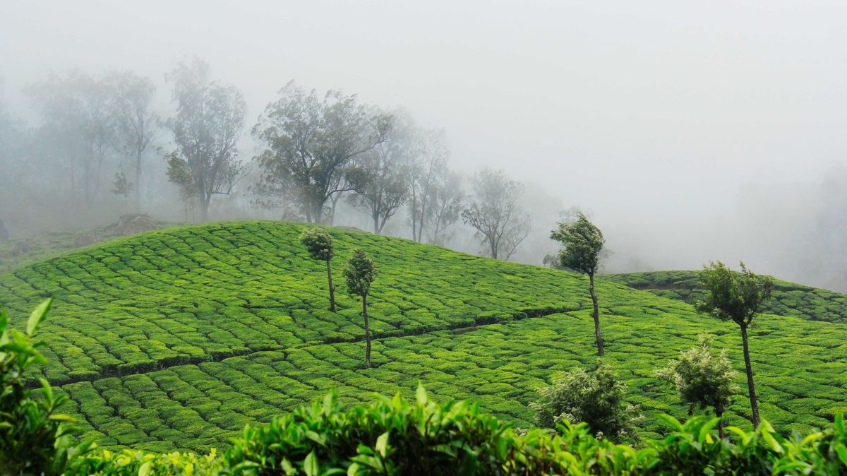 Tea estates in Munnar, Kerala