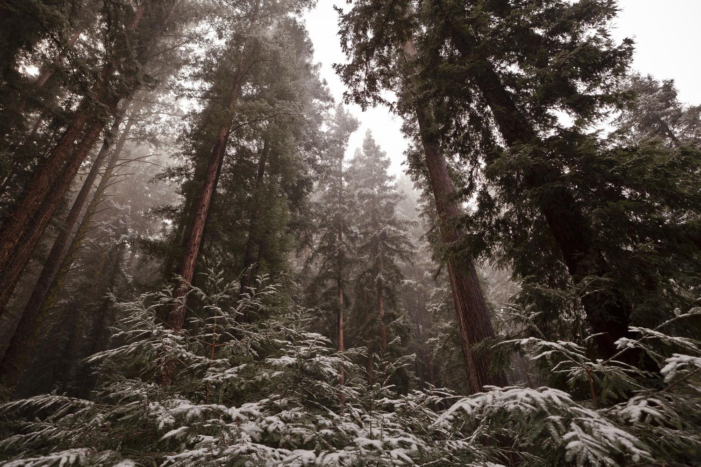 Redwoods in Snow