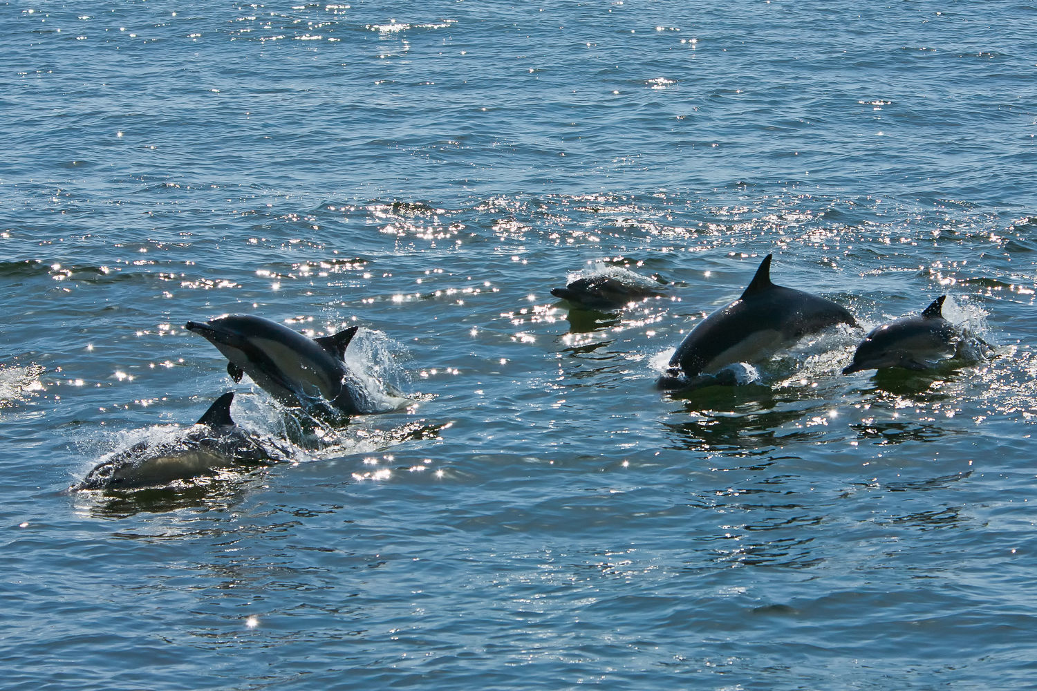 Common Dolphins - Moss Landing, CA