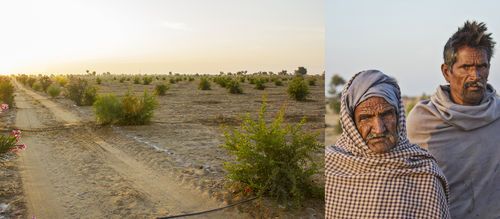 Pomegranate farms - Jaisalmer