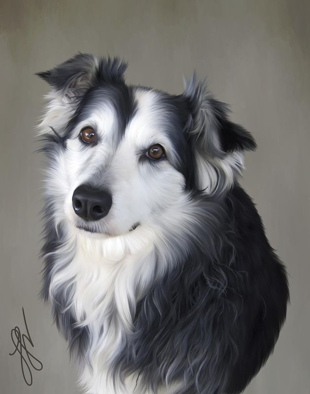 """Jess"" a border collie from Australia"
