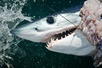 Shark Fishing: Capecodsportsmen.com