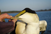 Sea Ducks: Cape Cod Eider Hunting with capecodsportsmen.com